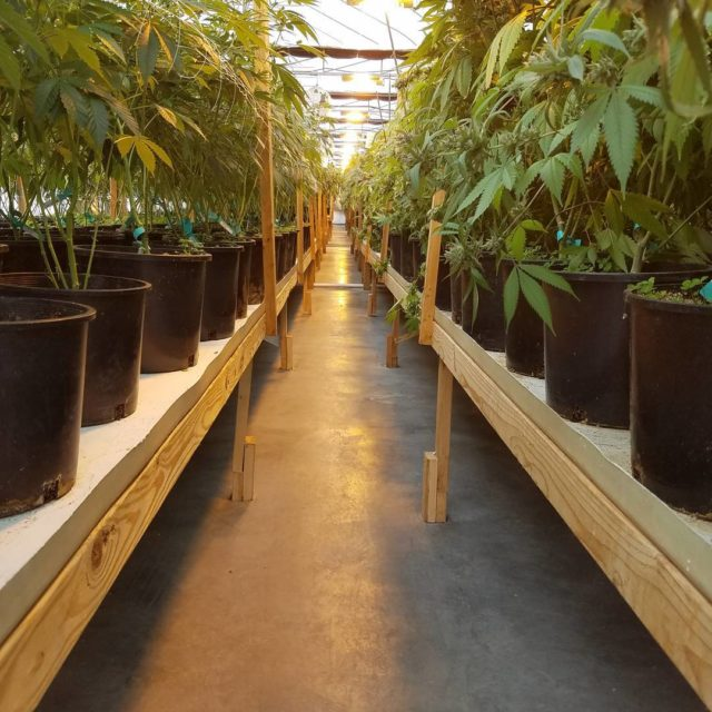 These rows are 140 feet long there are 560 plantshellip